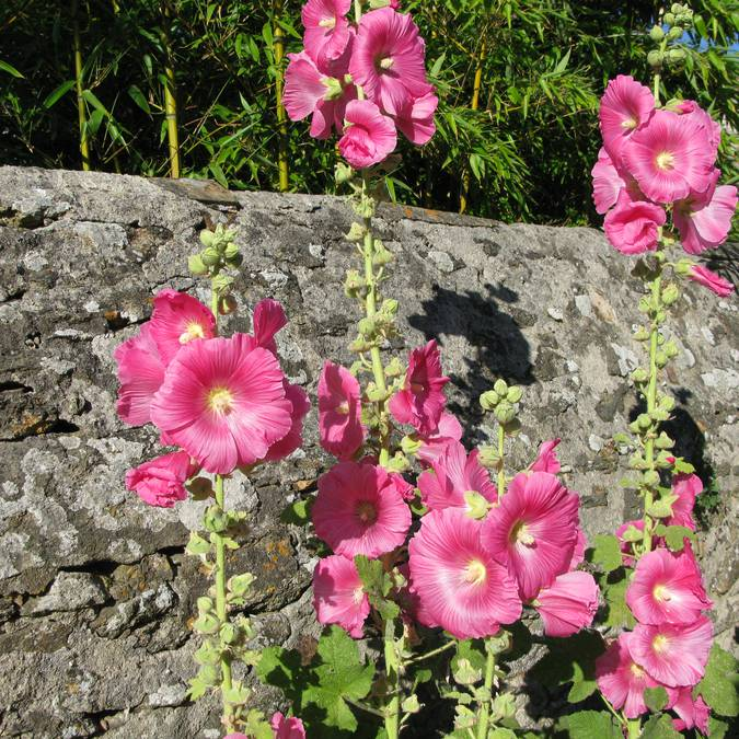 Roses trémières, rue de Saint-Sauveur, Ile d'Yeu